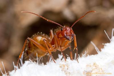 Camponotus brutus