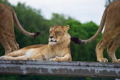 African Lion Safari 2009