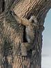 Tree Climbing Baboon