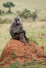 Baboon Timeout on a Termite Mound