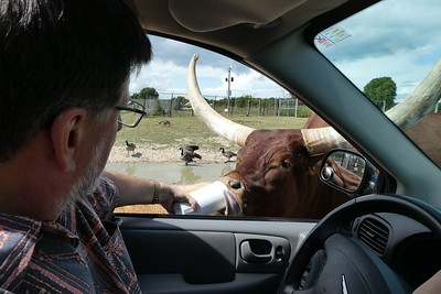 Mike feeding the Ankole Watusi Bull. Check out that tongue.