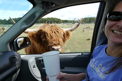 OMG! He ate all the rest of the food. This is a highland steer.