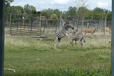 Zebras playing together.