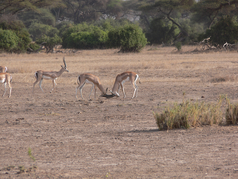 fighting Impala