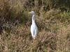 Yellow-billed Egret