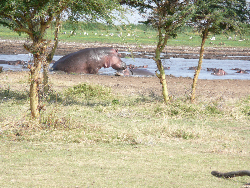 hippos fighting