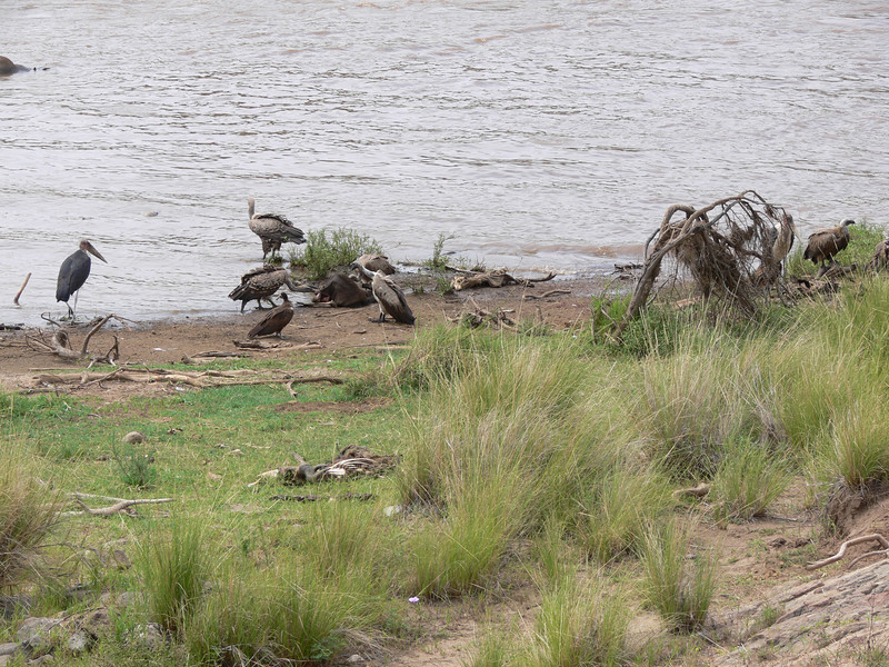Feasting on the bank of the Mara River