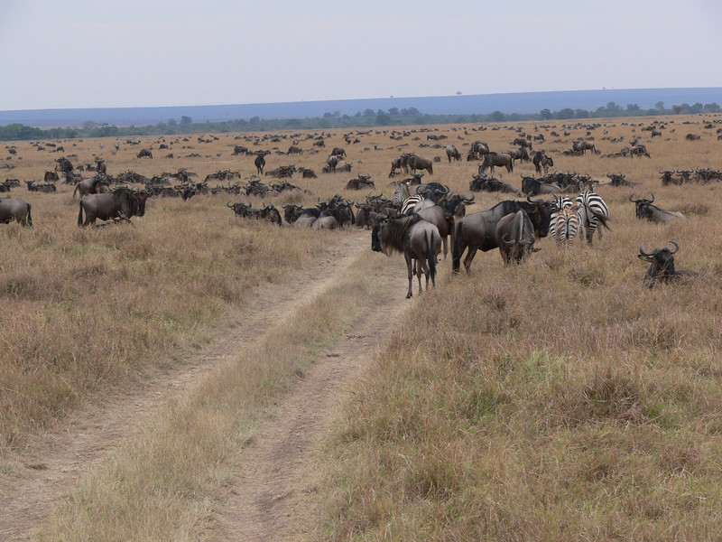More herds of wildebeests