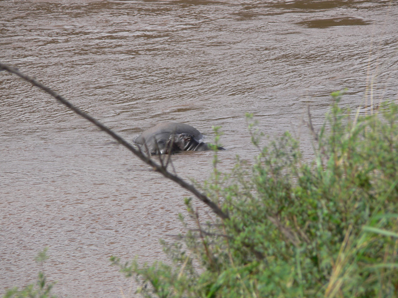 Mama hippo and baby in the Mara River