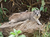 Hyrax with lizard