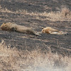 Just across the road, in the burned area, a pair of Lions