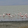 Flamingos in Lake Magadi