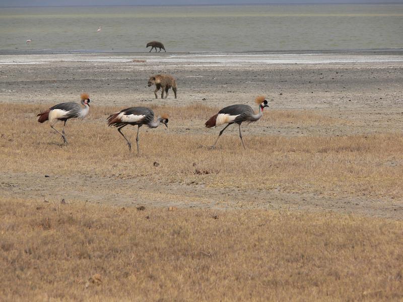 Gray Crowned Cranes next to Lake Magadi