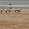 Gray Crowned Cranes next to Lake Magadi