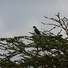 An Augur Buzzard