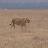 A solo lioness
