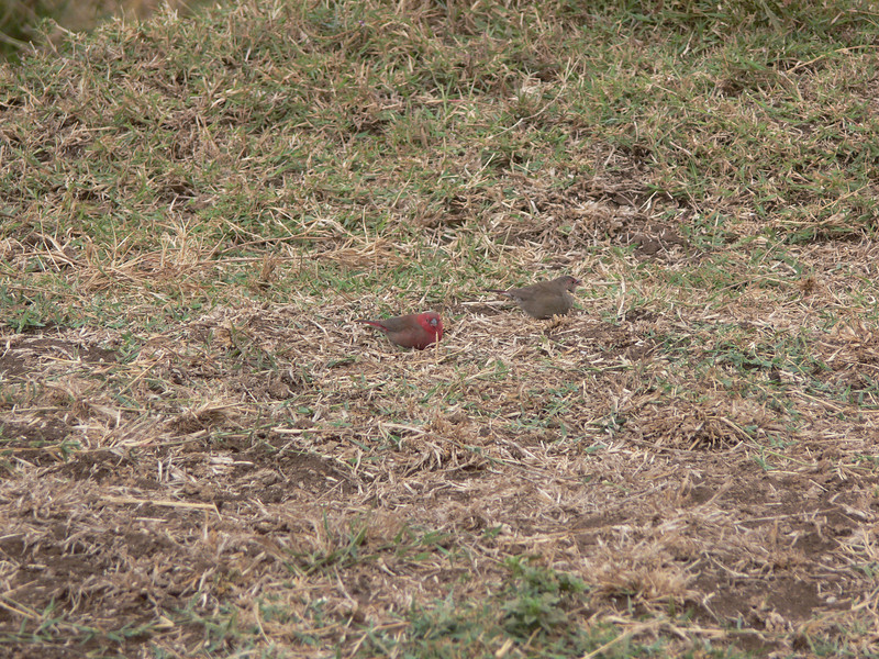A pair of Red-billed Firefinch
