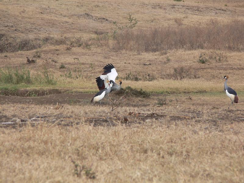 Gray Crowned Cranes dancing