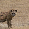 A Spotted Hyena