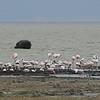 Flamingos and a hippo