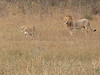 one walked down by the male lion