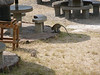 monkeys and banded mongoose in the picnic area