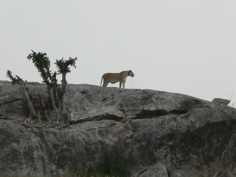 Lioness at Simba Kopjes