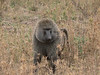 big male baboon beside the road