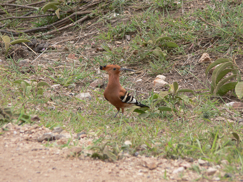 crested hoopoe, just like we saw in aswan, egypt