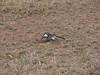 hornbill digging in the dirt