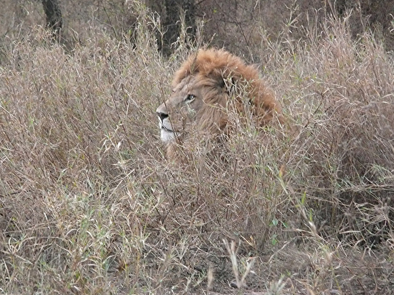 Lion right by the road