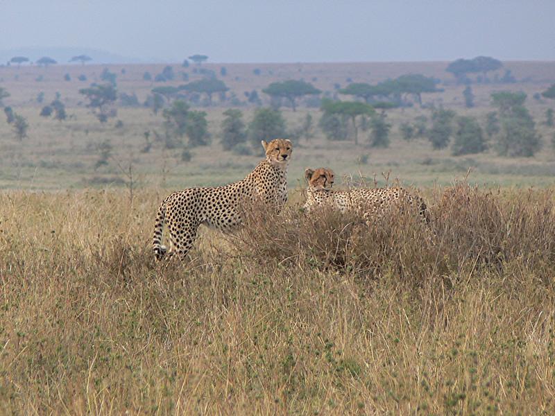 mama cheetah and cubs