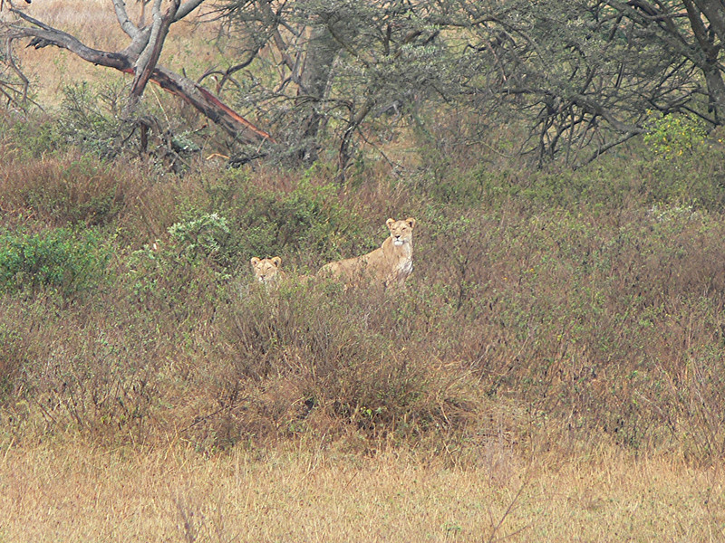two lioness on a hil