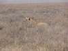 our last animal in the serengeti