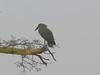Hammerkop bird