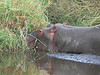 hippo in the seronera river