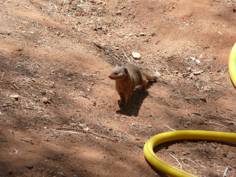 Dwarf mongoose by our tent