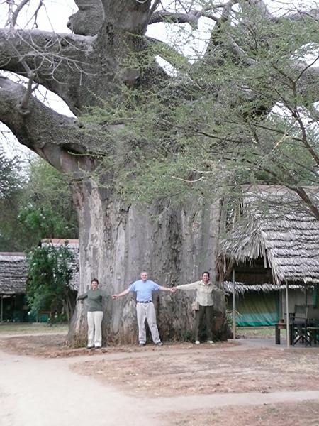 Very large Baobab tree