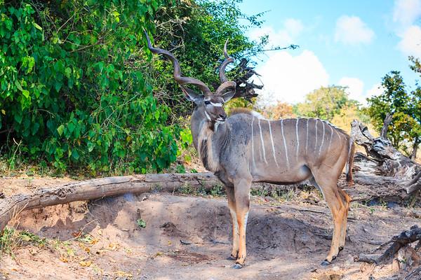 Impressive male Kudu
