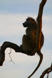 Chacma Baboon at dawn
