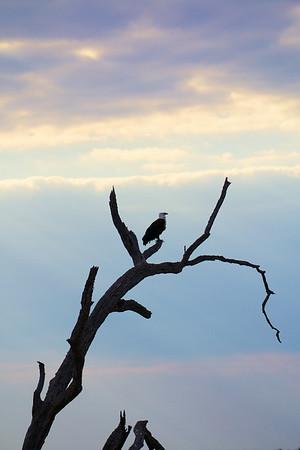 Fish Eagle at dusk