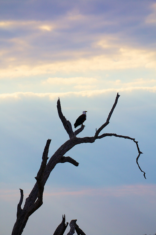 Fish Eagle at dusk