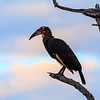 Southern Ground Hornbill at sunset