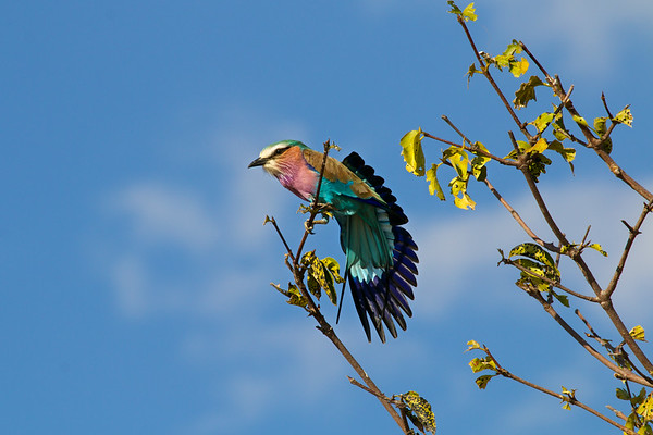 Lilac Breasted Roller shows off