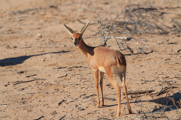 Damaraland Steenbok
