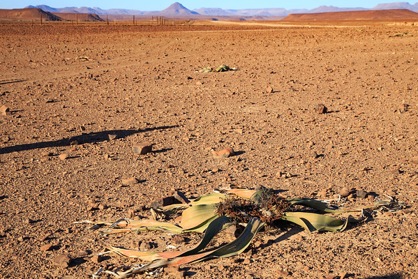 Welwitschia plant, Damaraland