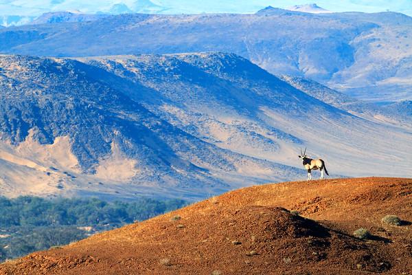 Damaraland Oryx