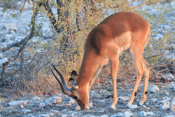 Early Morning Etosha Impala
