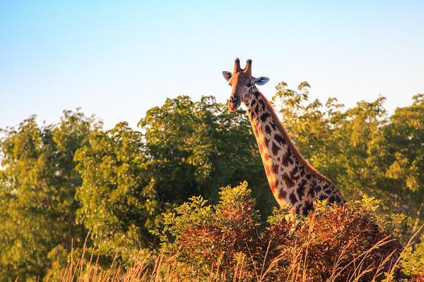 Morning giraffe