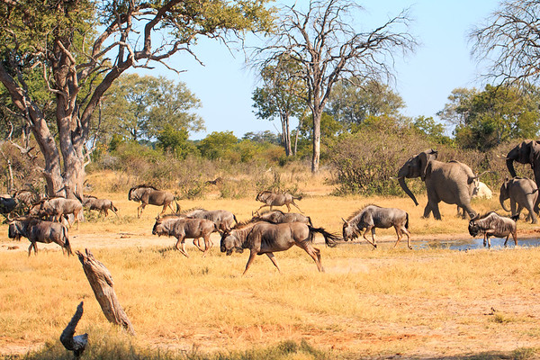 Elephant drive wildebeest from their watering hole